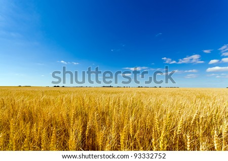 Golden colorful crop meadow under a blue vivid sky - stock photo