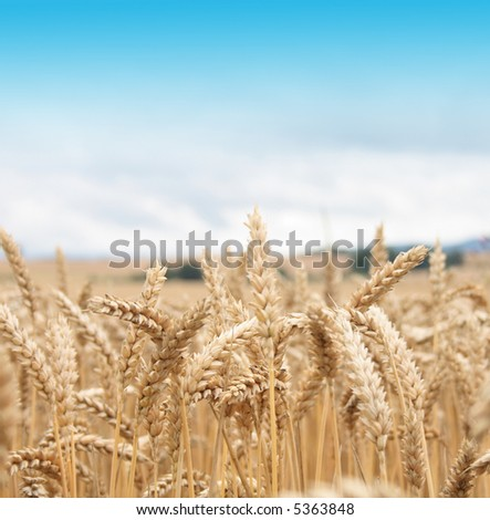 golden corn and blue sky - stock photo