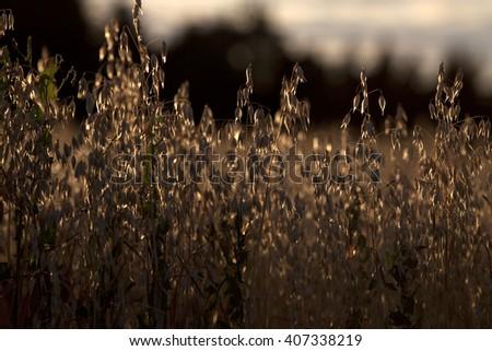 Golden corn field in sunset back light - stock photo