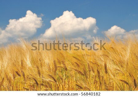 Golden cornfield before harvest and some clouds in the sky - stock photo