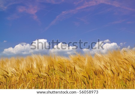 Golden Cornfield before harvest. Different clouds are in the blue sky. - stock photo