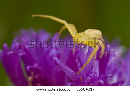 Golden crab spider on purple porcupine flower - stock photo