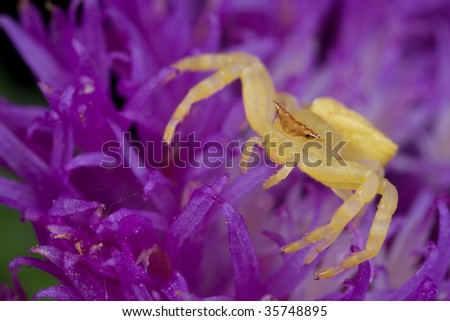 Golden crab spider on purple porcupine flower