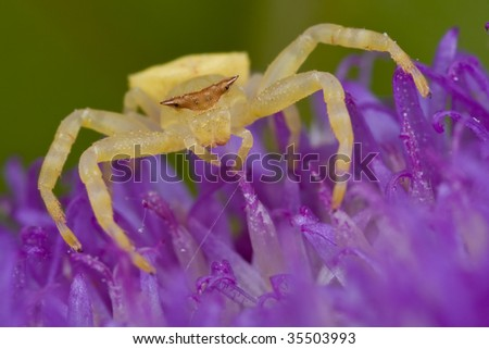 Golden crab spider on purple porcupine wildflower - stock photo