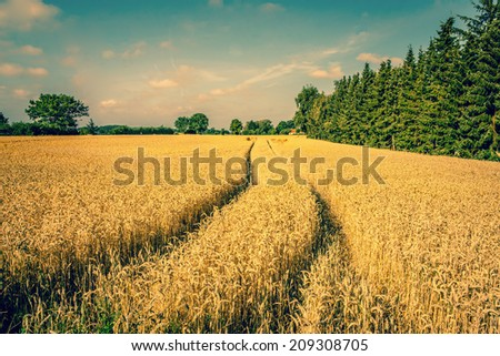 Golden crop field scenery with tire tracks - stock photo