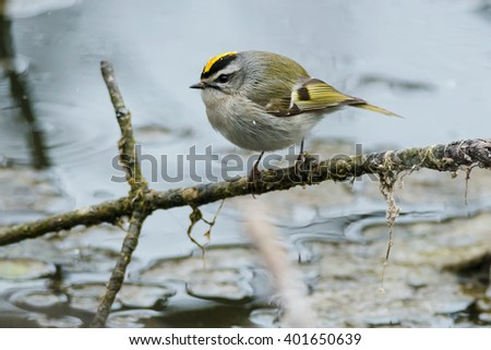 Golden-crowned Kinglet perched on a branch.