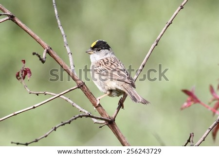 Golden-crowned Sparrow on a branch in early spring - stock photo