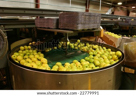 Golden Delicious Apples in a packing tub in a warehouse