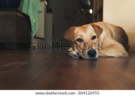 Golden dog laying on a wooden floor, head down on paw, in a living room. - stock photo