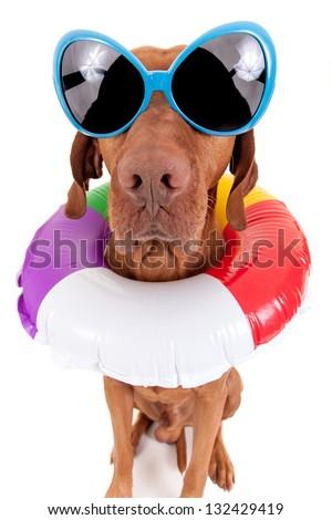 golden dog wearing oversize sunglasses and swimming ring around neck isolated on white background - stock photo