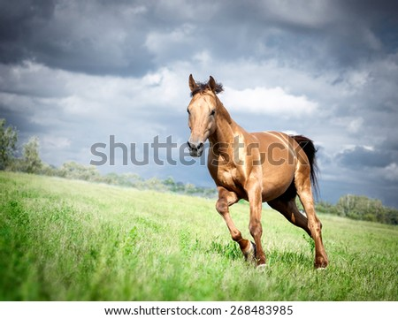 golden Don horse stallion runs gallop in summer with storm sky - stock photo