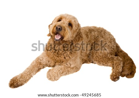 Golden Doodle dog laying down looking up isolated on white - stock photo