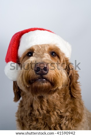 Golden doodle poses with a Santa hat on gray background