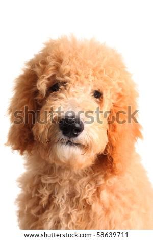 Golden doodle puppy - stock photo