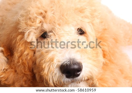 Golden doodle puppy, close up. - stock photo
