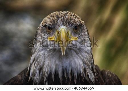 golden eagle - stock photo
