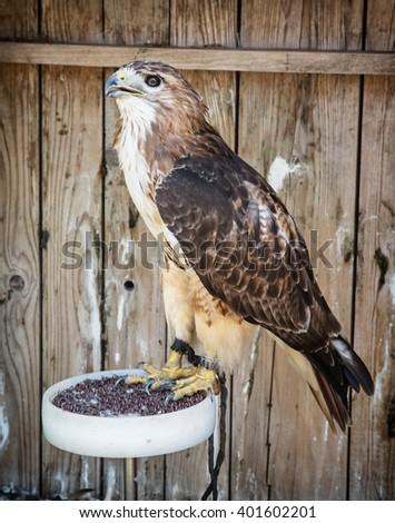 Golden eagle (Aquila chrysaetos) - big bird of prey. Animal scene. - stock photo