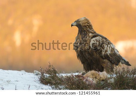 Golden eagle (aquila chrysaetos) feeding on a dead deer in front of a sunny mountain - stock photo