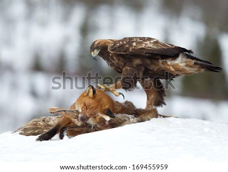 Golden Eagle (Aquila chrysaetos) feeding on a Red Fox high in the mountains, Norway. - stock photo