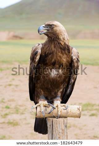 golden eagle (Aquila chrysaetos) in brail sits on pole - stock photo