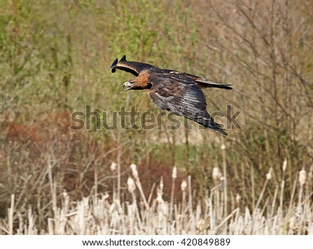 Golden eagle (Aquila chrysaetos) in flight with vegetation in the background - stock photo