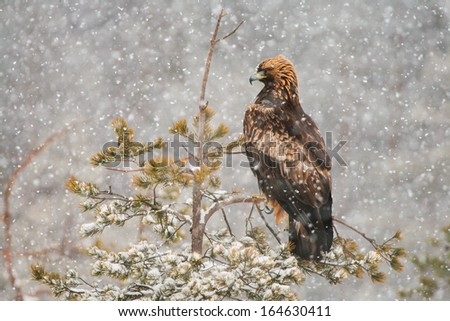 Golden eagle (Aquila chrysaetos) perched on conifer tree during heavy snowfall  - stock photo