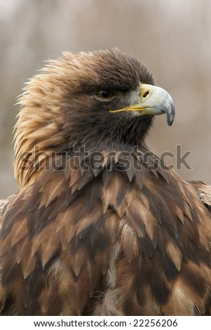 Golden Eagle (Aquila chrysaetos) portrait - stock photo