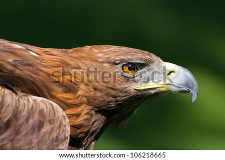 golden eagle close up - stock photo