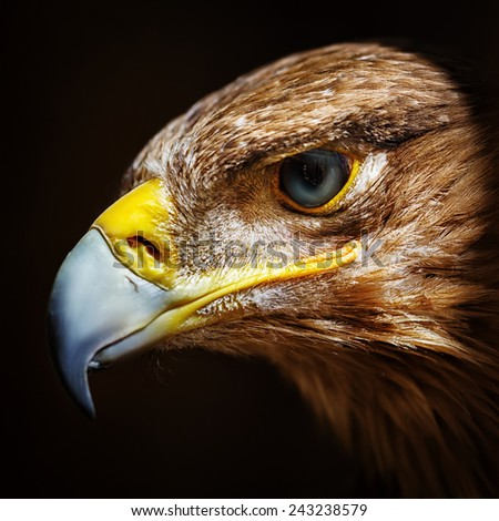 Golden eagle close up portrait. Wild bird. - stock photo