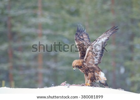 Golden eagle eating a racoon carcass - stock photo