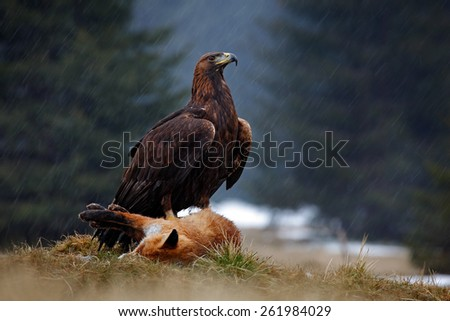 Golden Eagle, feeding on kill Red Fox in the forest during the rain   - stock photo
