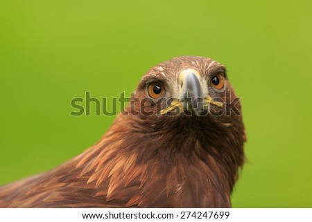 golden eagle female - stock photo