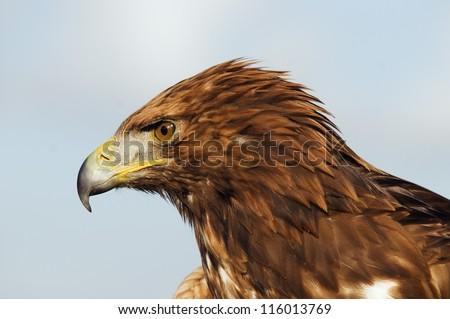 Golden Eagle head - stock photo