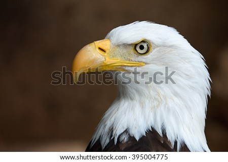 Golden Eagle head in profile