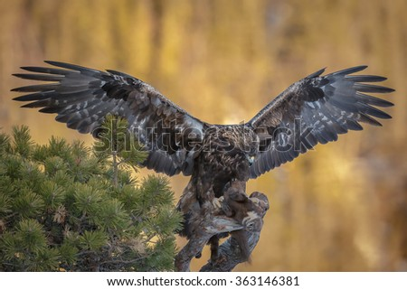 Golden eagle holding a pine marten prey in Norway - stock photo