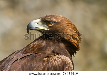 golden eagle in profile - stock photo