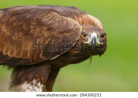 golden eagle in the grass - stock photo
