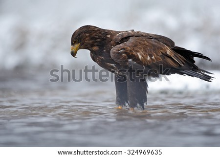 Golden Eagle in the water during snowy winter