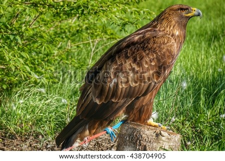 Golden eagle in the zoo - stock photo