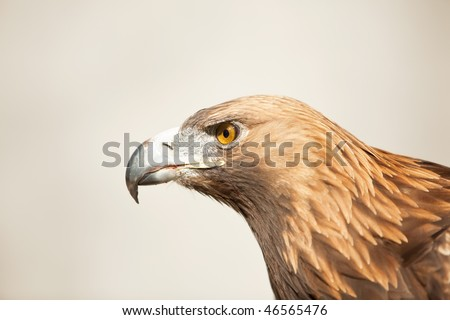 Golden eagle, isolated profile view . - stock photo