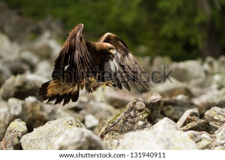 Golden Eagle landing - stock photo