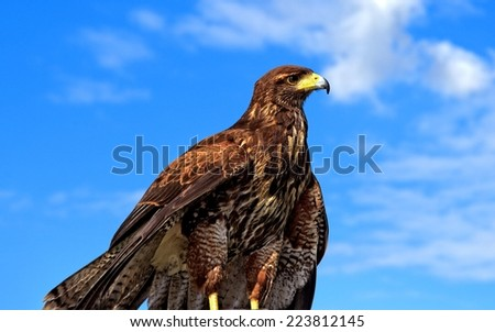 Golden eagle looking for its next prey against blue sky - stock photo