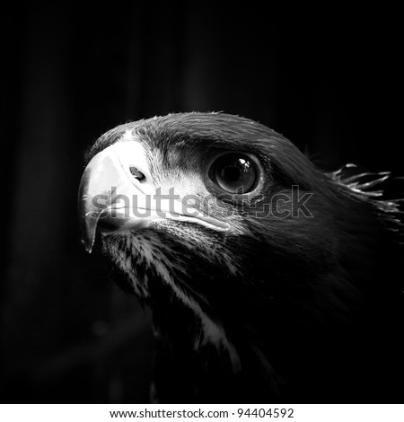 Golden eagle looking forward black and white - stock photo