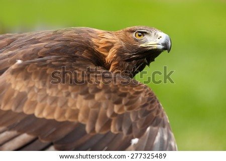 golden eagle looking to up - stock photo