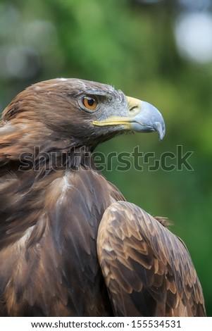 golden eagle nice portrait - stock photo
