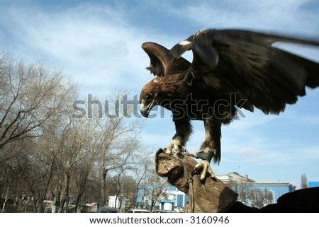 Golden eagle on a hand in movement