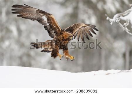 Golden Eagle on landing - stock photo
