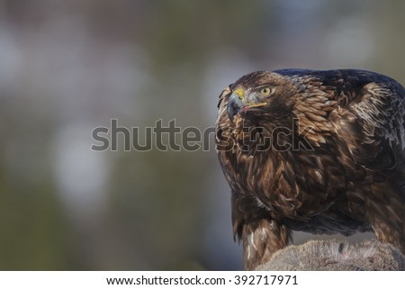 Golden eagle on prey in Flatanger, Norway - stock photo