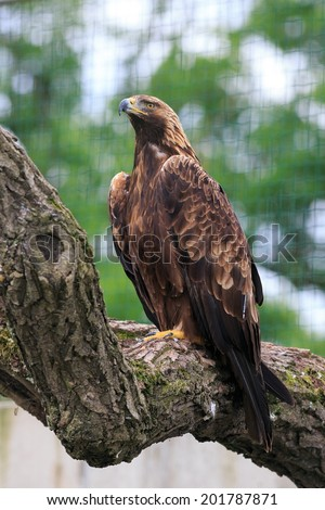 golden eagle on the tree - stock photo