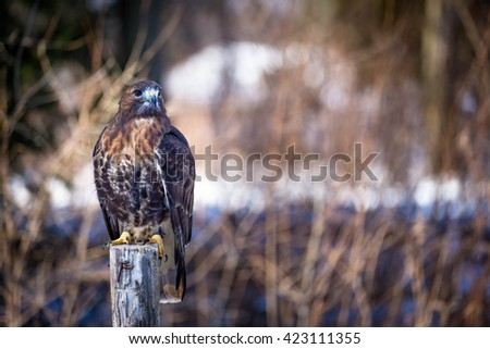 Golden eagle on tree trunk - stock photo